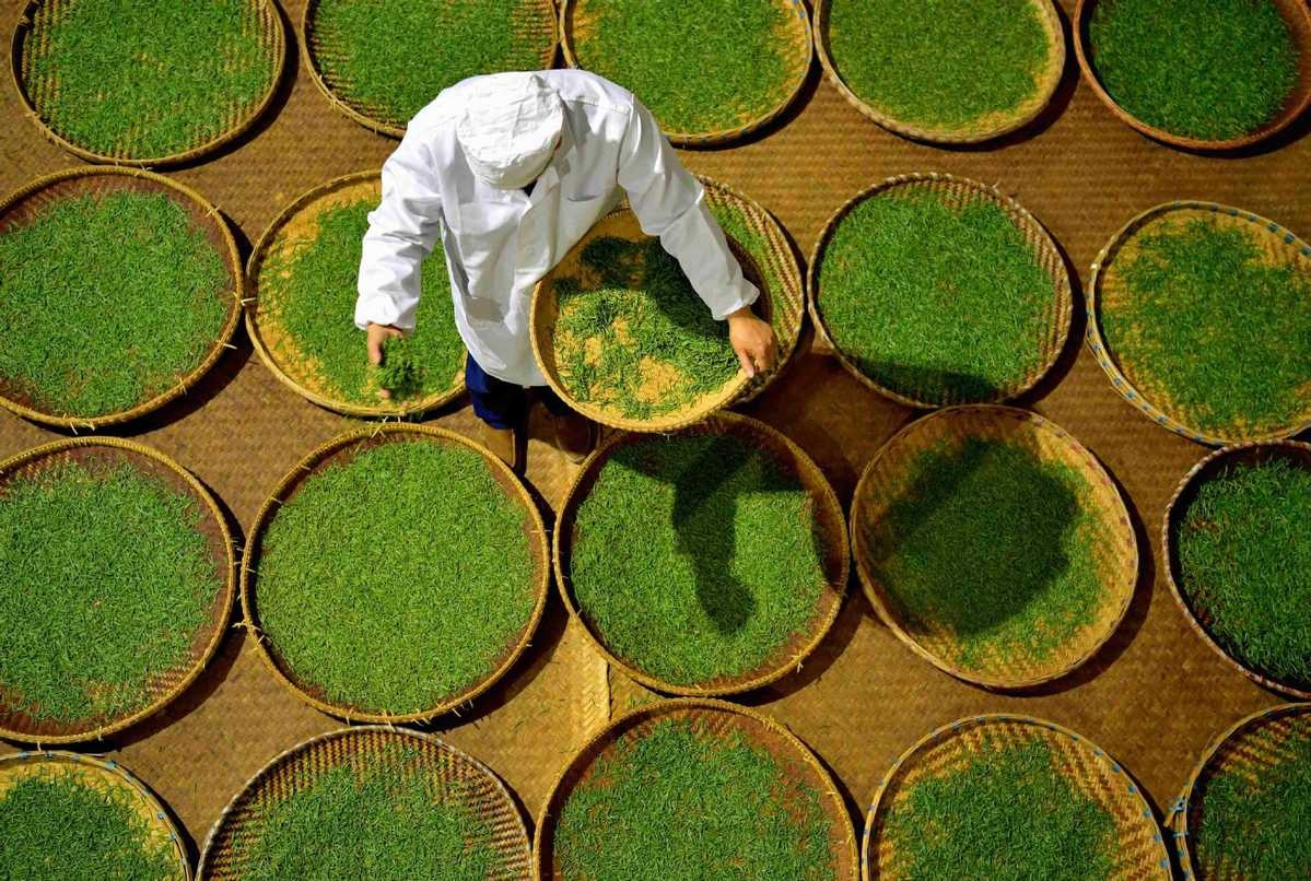 Tea maker Qiu Jianhong prepares tea leaves to make Lichuan black tea in Lichuan city Central Chinas Hubei province April 27 2018