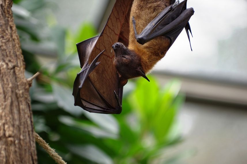 The viral lineage leading to the novel coronavirus SARS CoV 2 might have been circulating unnoticed in bats for decades